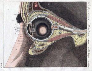 Augenarzt, Auge, Augapfel