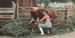 Kuh, Kuh melken, melken, melkerin, Milchkuh
