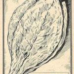 Basmablatt, Tabakpflanze, Tabakblatt