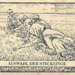 Stecklinge, Tabakanbau, Tabakbauern, Tabakpflanzen
