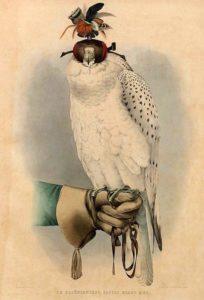 Vogel, Grönland