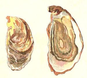 Austerfischer, Austernzucht, Austern
