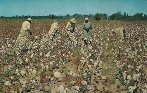 Baumwollernte, Baumwolle, cotton