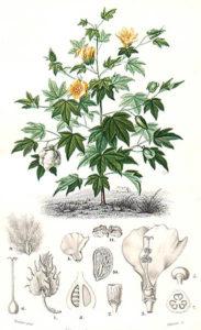 Baumwolle, baumwollpflanze, cotton