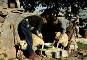 Schafe, Griechenland, Melker, Schafsbauern, Schafsmilch