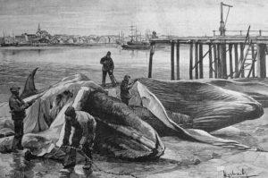 Walfänger, Wale, Walfang, Walfischschlachterei