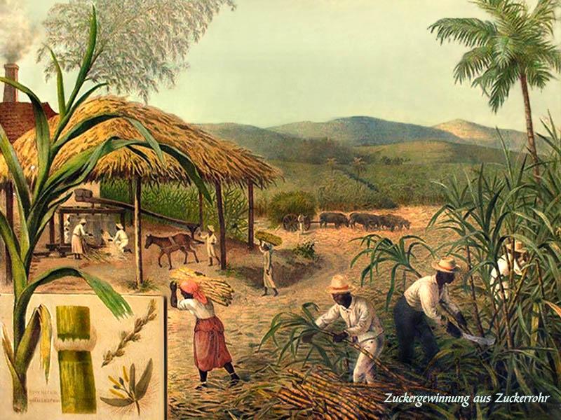 Der Zuckerhersteller: Rohrzucker