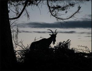Ziege in der Abenddämmerung als Silhouette