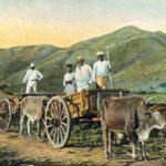 Zuckerrohr, Transport, Ochsenkarren, Landwirtschaft, Puerto Rico