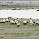Schafe, Salzschafe, Schafherde