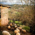Schafsherde, Schafe, Vogesen