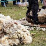 Schafsschur, Schaf scheren