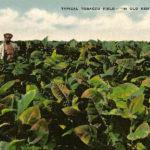 Farbfoto: Bauer steht in mitten eines Tabakfeldes mit bis zum Bauch reichenden Pflanzen