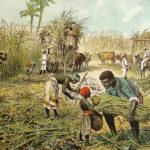 Zuckerrohrernte, Landwirtschaft, Zuckerrohrplantage