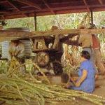 Zuckerhesteller, Zuckerrohr, Zuckerrohrmühle, Landwirtschaft, Pitcairn Island