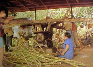 PK: Mahlwerk wird von mehreren im Kreis gehenden Männer bewegt, während eine Frau Zuckerrohr in das Quetschwerk schiebt