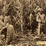 Zuckerrohrente, Landwirtschaft, Jamaica