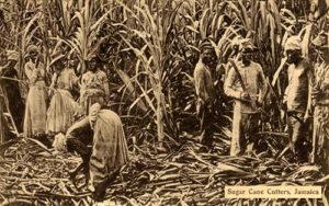 altes s/w Foto: rechts schwarze Sklaven mit Macheten beim Abschneiden des Zuckerrohrs, links Sklavinnen beim Entfernen der oberen Blatteile des geernteten Rohrs
