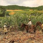 Zuckerrohrernte, Zuckerrohrplantage, Landwirtschaft