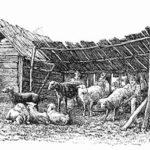 Schäfer, Ungarn, Schafe