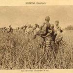 Reisernte, Senegal, Afrika, Reisfeld, Reisbauern