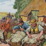Sammelbild, Schafschur, Schäfer, Schafe scheren