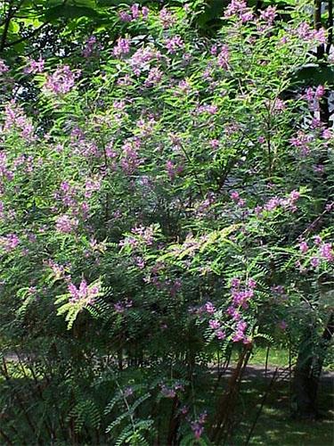 Farbfoto: Indigostrauch mit pinkfarbenen Blütenständen
