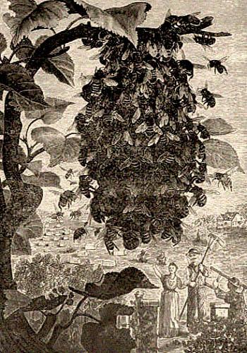 Radierung: große Bienentraube am Baum und Imker