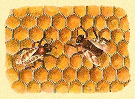 Farbdruck: zwei Bienen bei der Arbeit