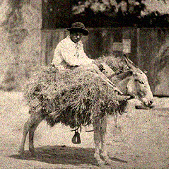 sw Foto: texanischer Händler reitet auf mit Heu beladenem Esel -1879