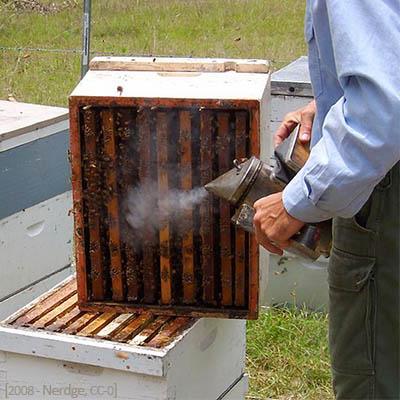 Farbfoto: Beräuchern eines Bienenstocks vor Entnahme der Bienen