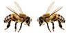 illu: zwei Bienchen
