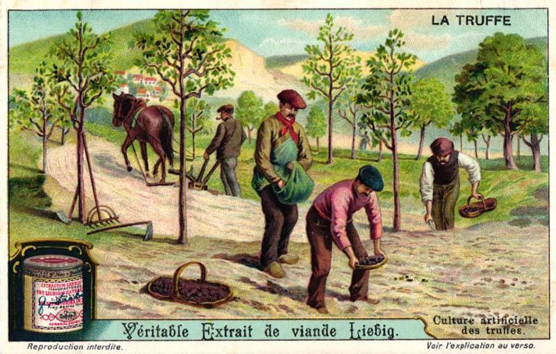 Sammelbild: Kultivierung von Trüffeln