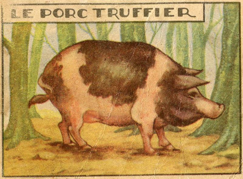 dickes geschecktes Schwein