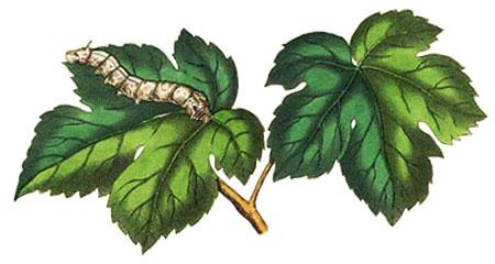 Farblitho: Seidenraupe auf Maulbeerblatt - 1850