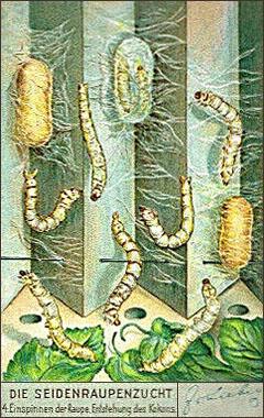 Sammelbild: Raupen spinnen Kokons - 1937