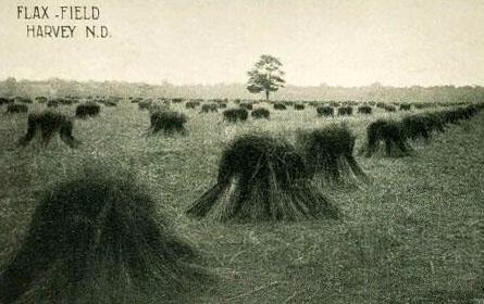 Flachsfeld mit aufgestellten Bündeln