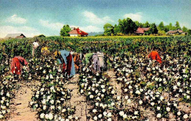 kolorierte Postkarte: Frauen ernten Baumwolle